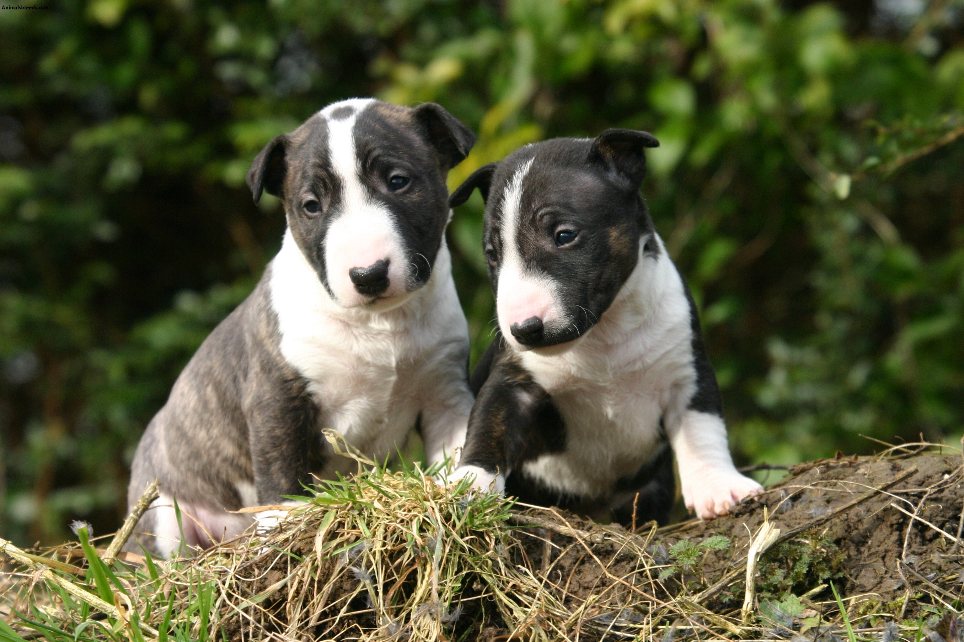miniature bull terrier pups miniature bull terrier pictures information 3267