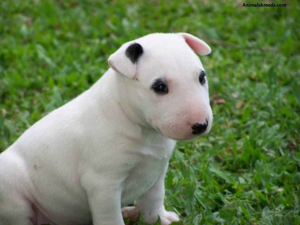 bull terrier picture miniature bull terrier pictures information 6712