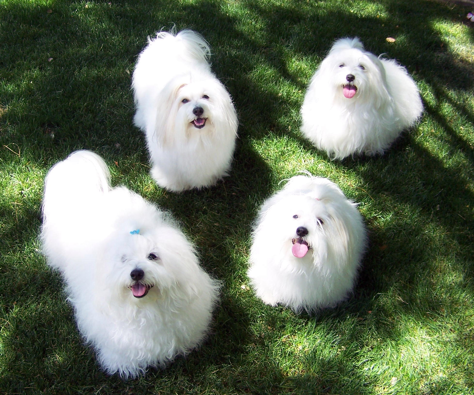 Cotton Ball Dog Breed