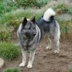 Grey Norwegian Elkhound