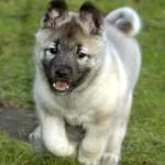 Grey Norwegian Elkhound