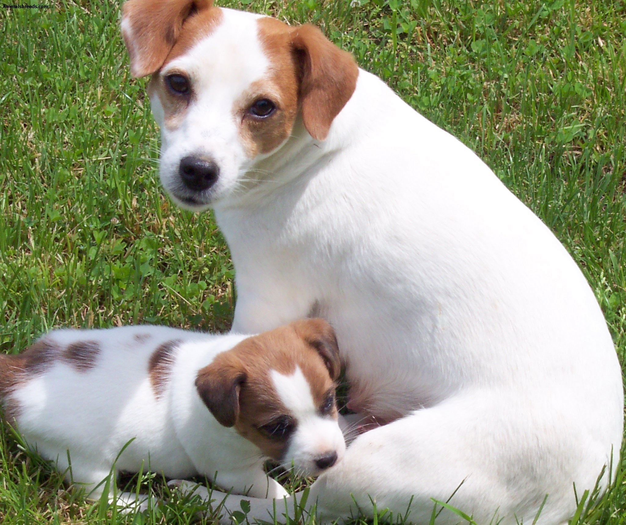 Best Dog Food For Jack Russell Puppies