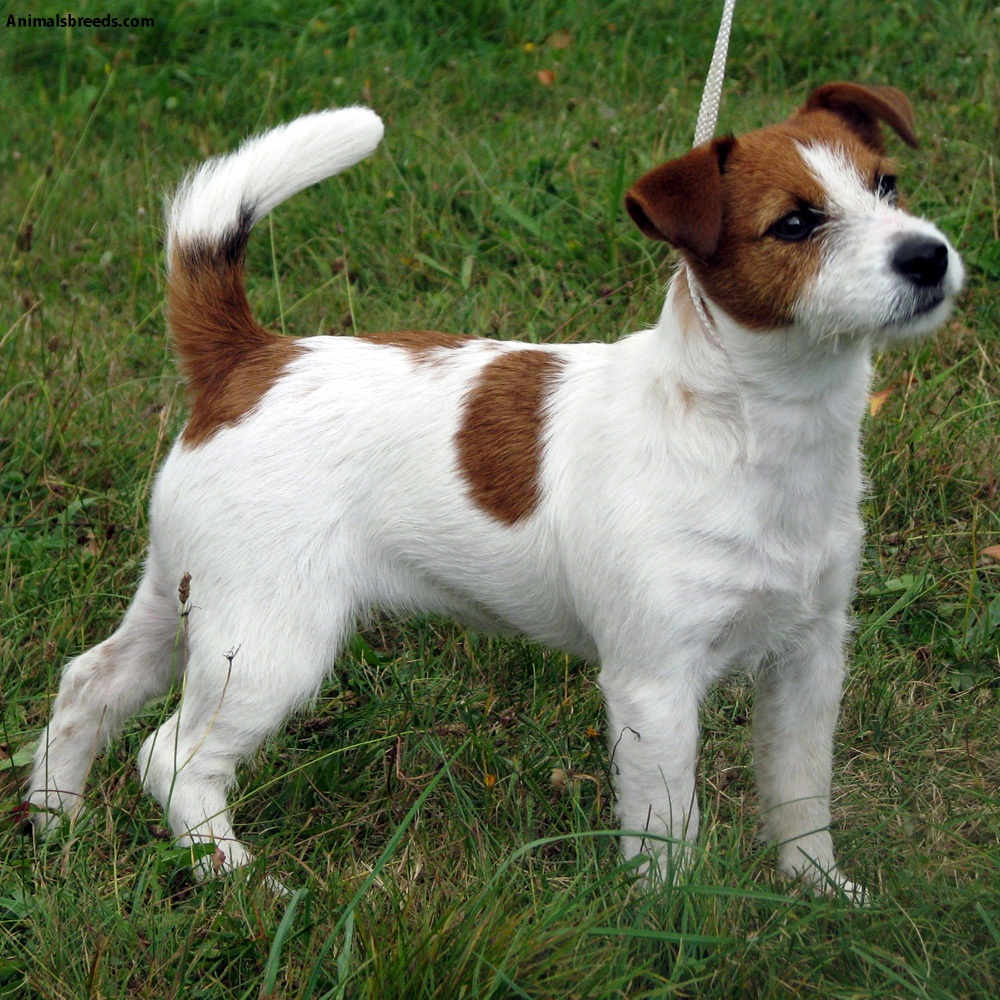 russell terrier breed jack russell terrier pictures information temperament 2429