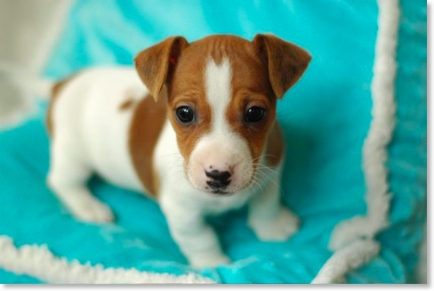 Jack Russell Terrier - Pictures, Information, Temperament