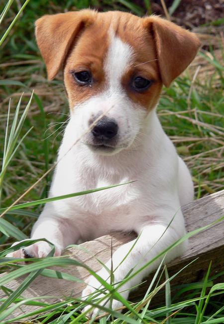 Jack Russell Terrier - Pictures, Information, Temperament ...