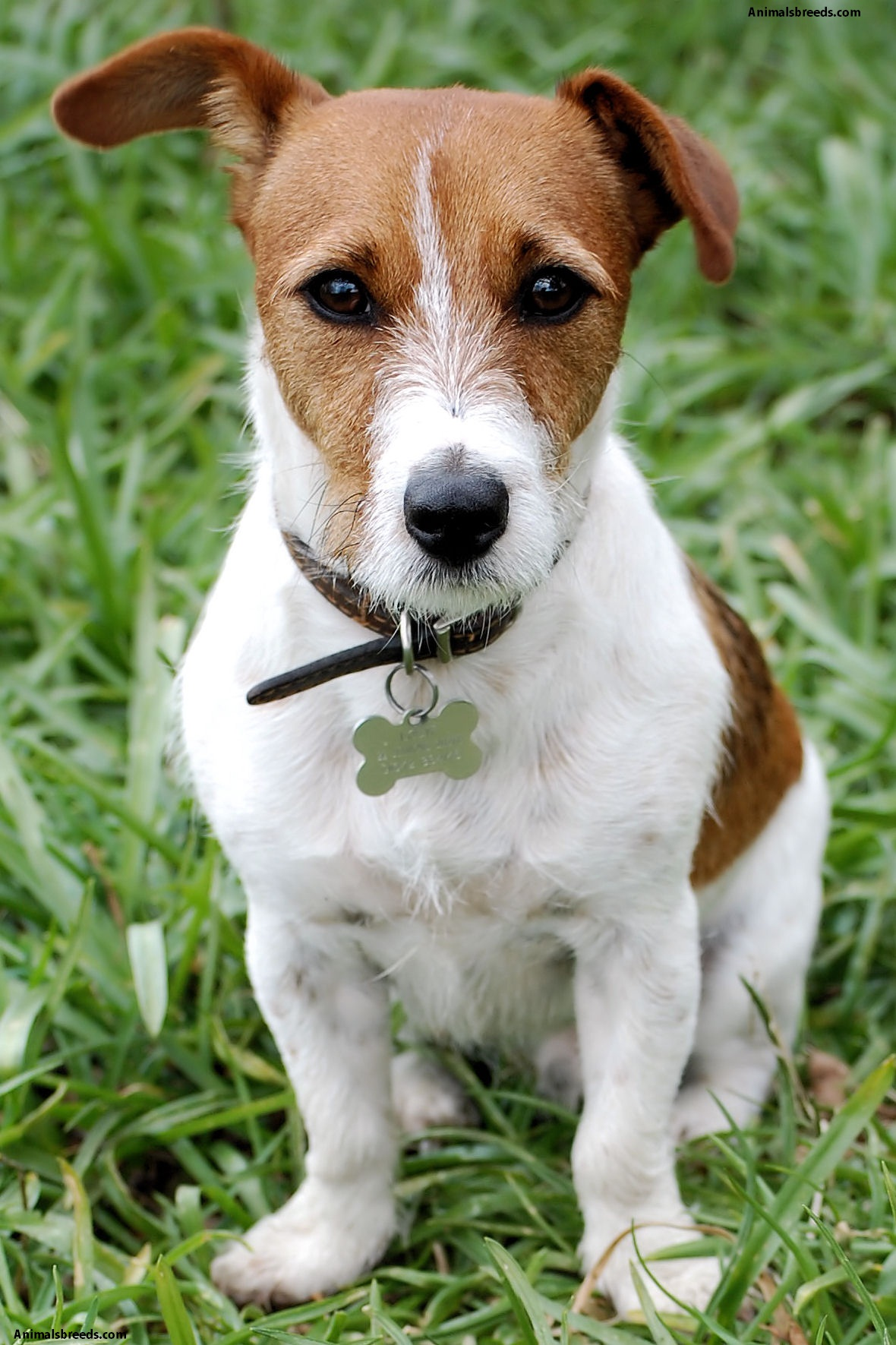 russell terrier breed jack russell terrier pictures information temperament 5704