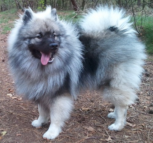 Keeshond Pictures Information Temperament