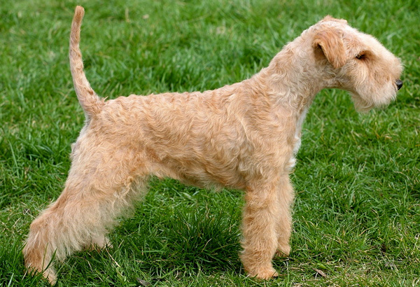Small Terrior Dogs Show Breeds