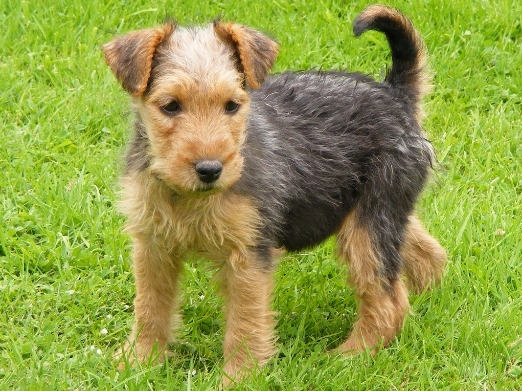 types of terrier breeds lakeland terrier dog breed pictures information 8890