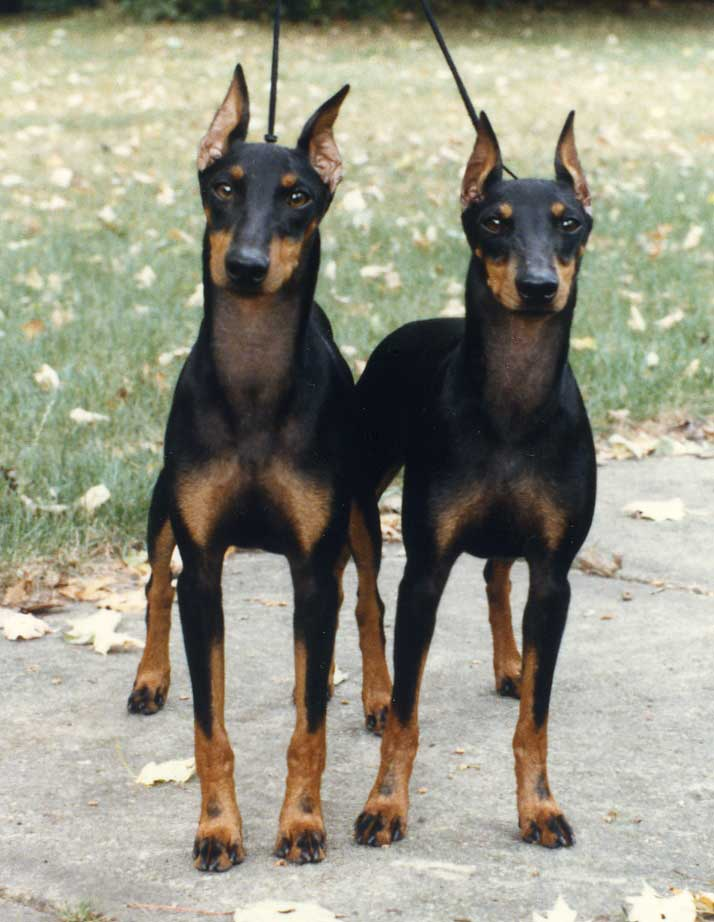 Fence For Dogs >> Manchester Terrier Dog Breed - Pictures, Information, Temperament, Characteristics | Animals Breeds
