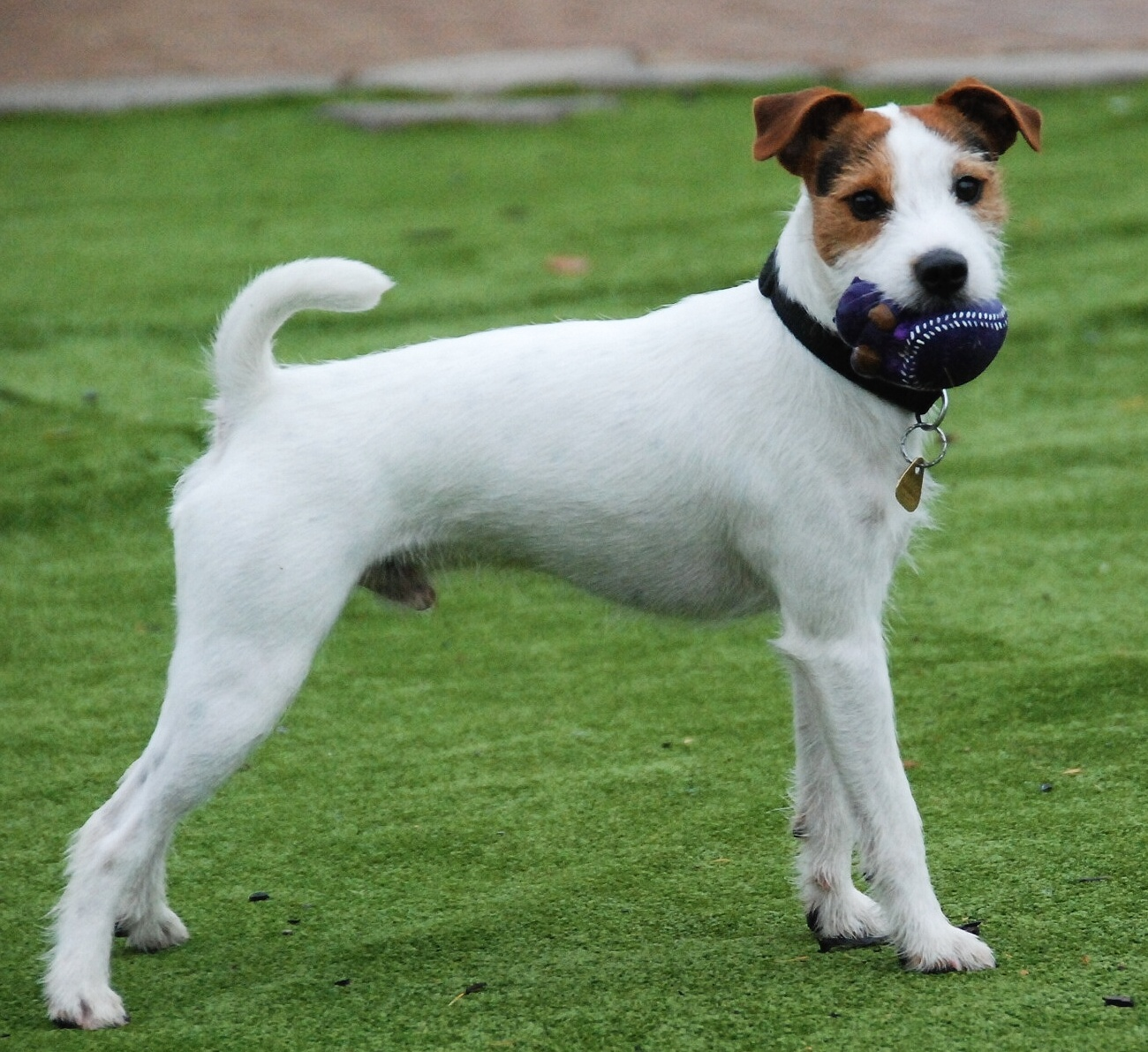 russell terrier breed parson russell terrier puppies pictures information 9156