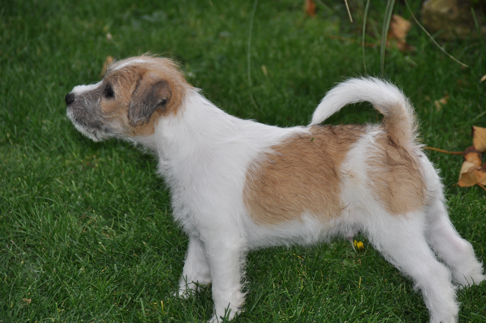 russell terrier breed parson russell terrier puppies pictures information 2890