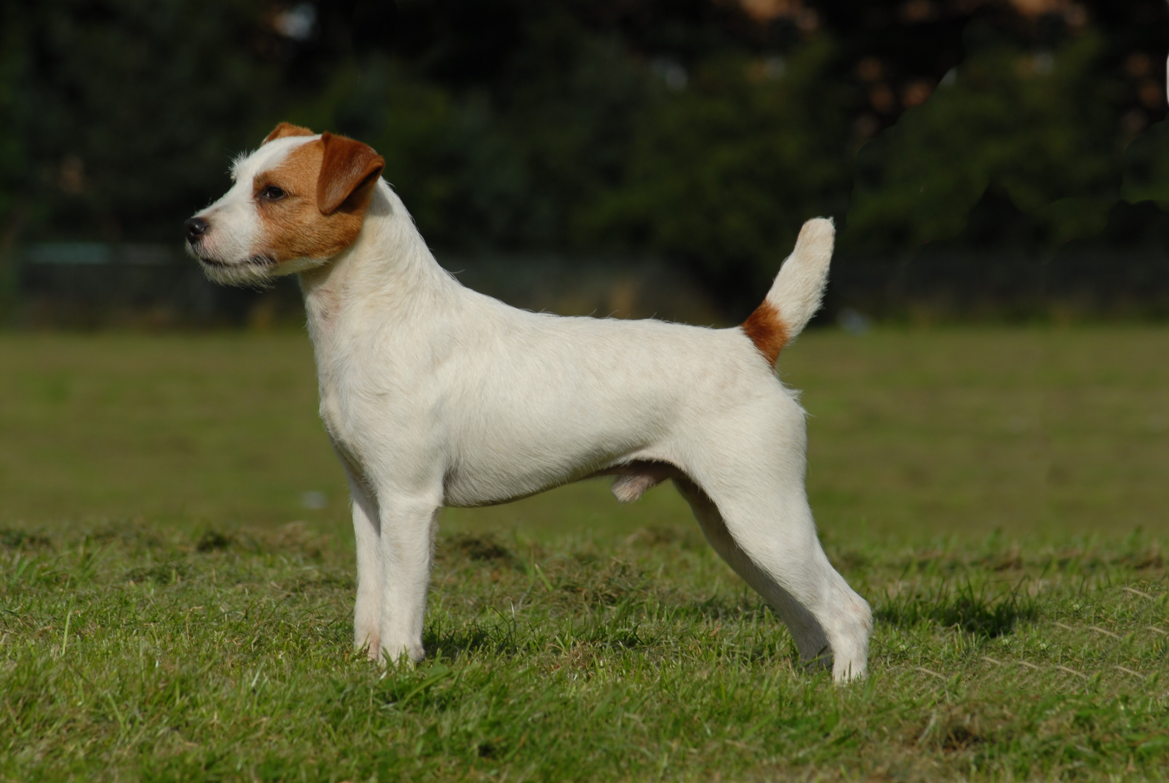 russell terrier breed parson russell terrier puppies pictures information 425