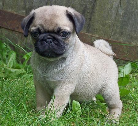 Pug - Puppies, Rescue, Pictures, Information, Temperament