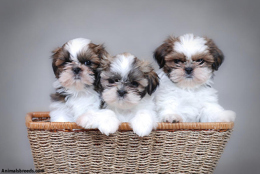 shih tzu characteristics shih tzu pictures puppies information temperament 5336