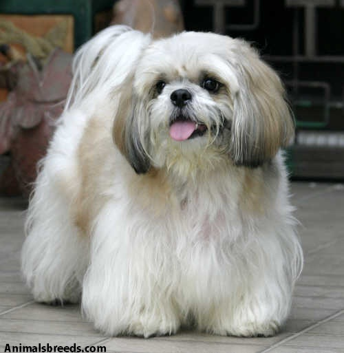 shih tzu characteristics shih tzu pictures puppies information temperament 2542