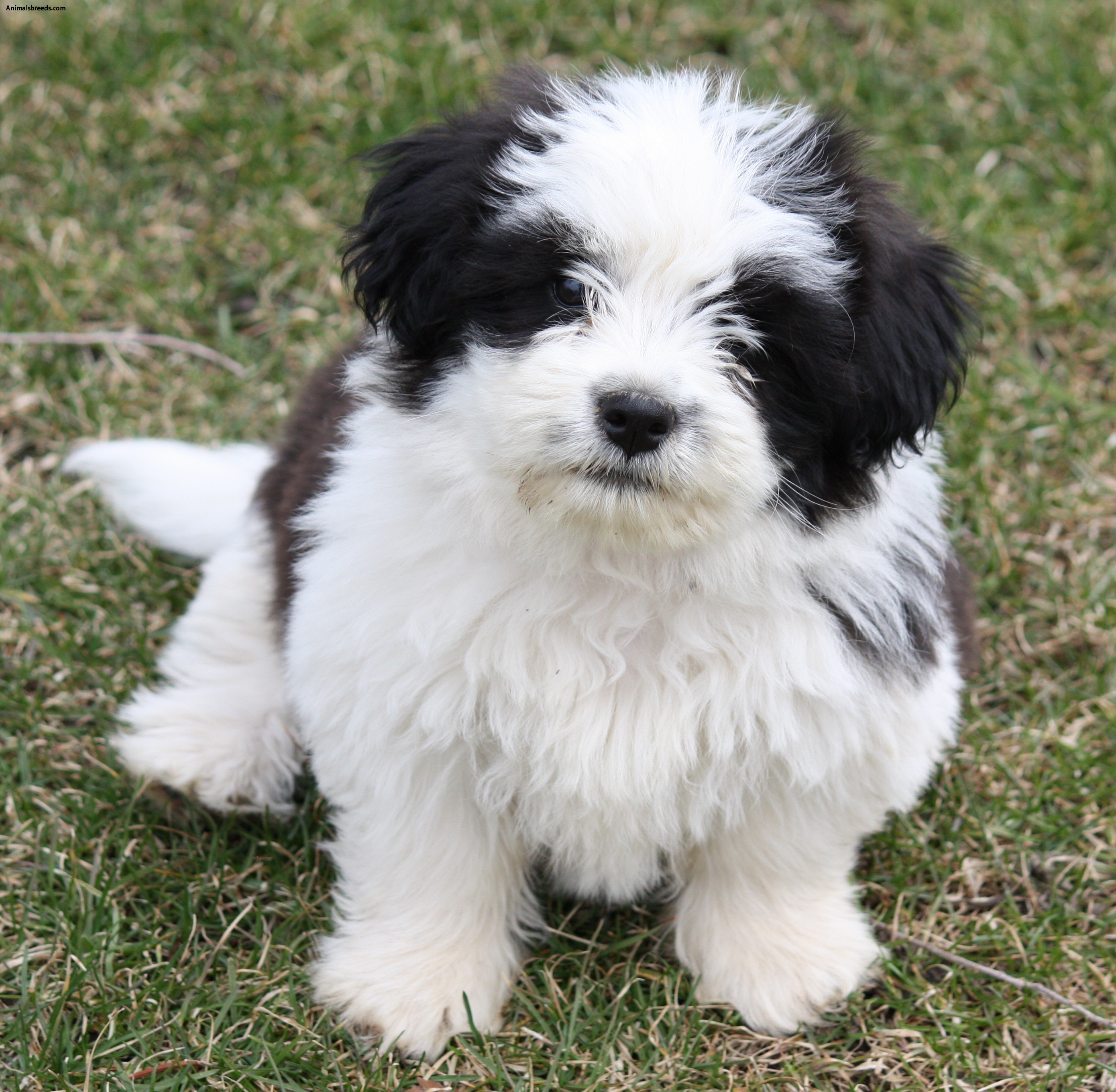 shih tzu puppies rescued shih tzu pictures puppies information temperament 9379
