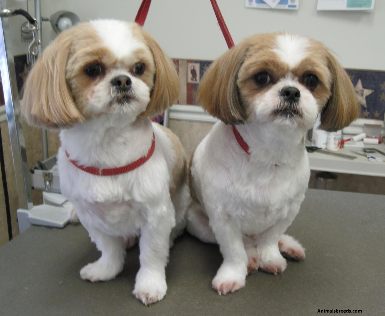 haircuts for shih tzus shih tzu pictures puppies information temperament 2126
