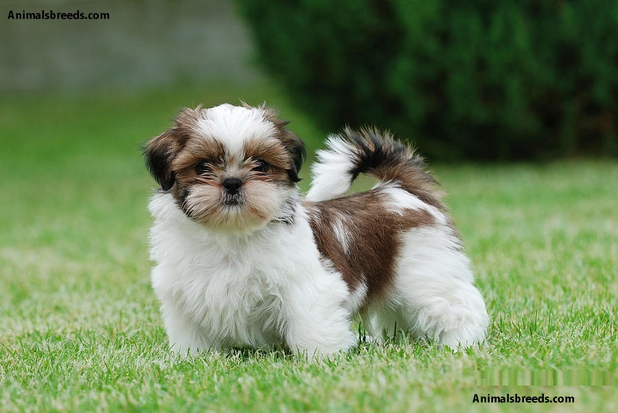 shih tzu characteristics shih tzu pictures puppies information temperament 471