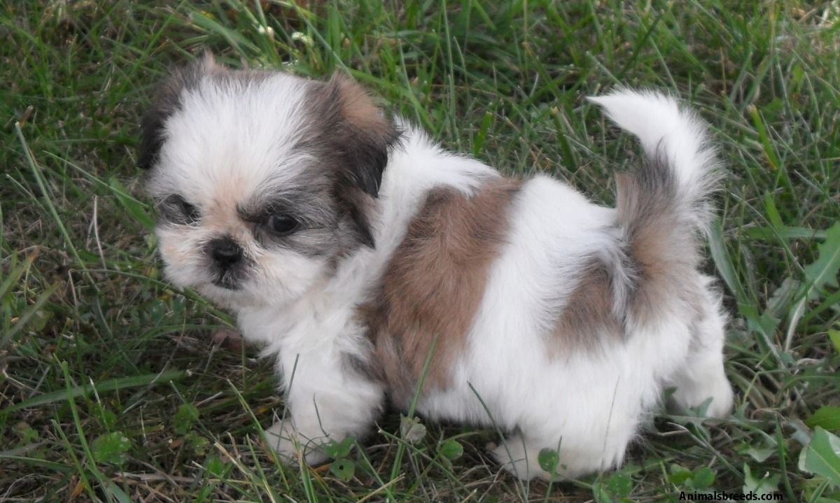 shih tzu characteristics shih tzu pictures puppies information temperament 4571