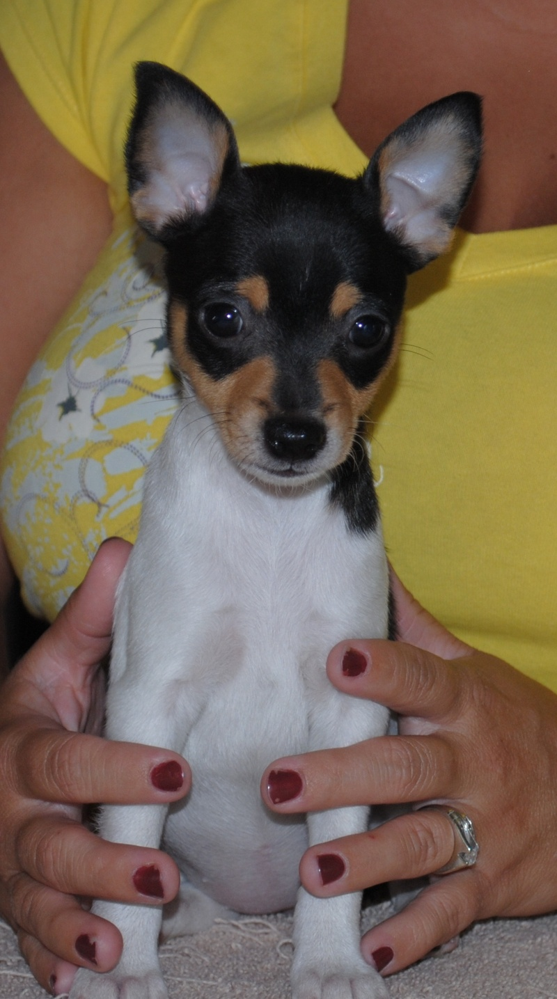 Toy Fox Terrier Pictures Information Temperament