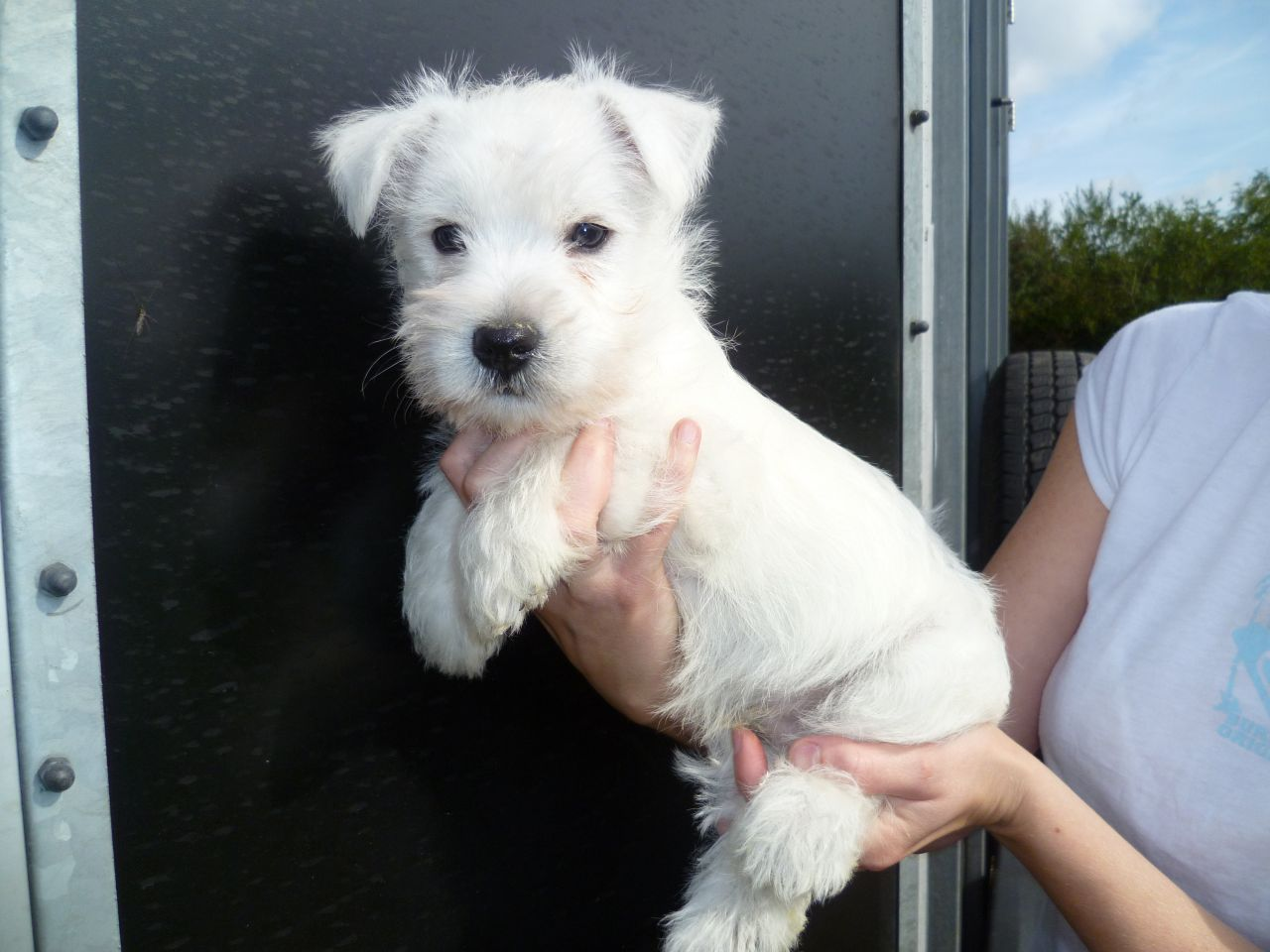 Highland Terrier Dogs For Sale