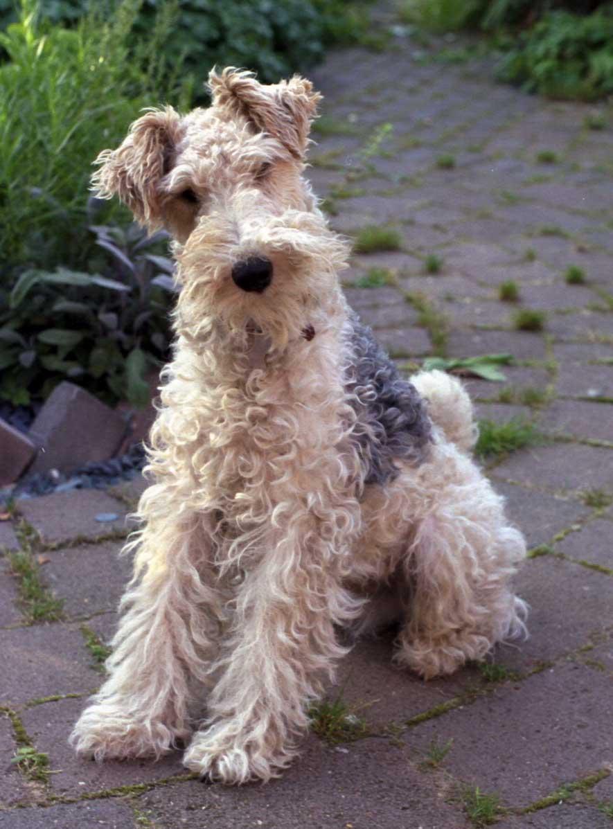Wire Haired Fox Terrier | Wire Fox Terrier Pictures Information Temperament