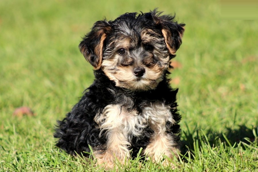Dogs Like Yorkshire Terrier
