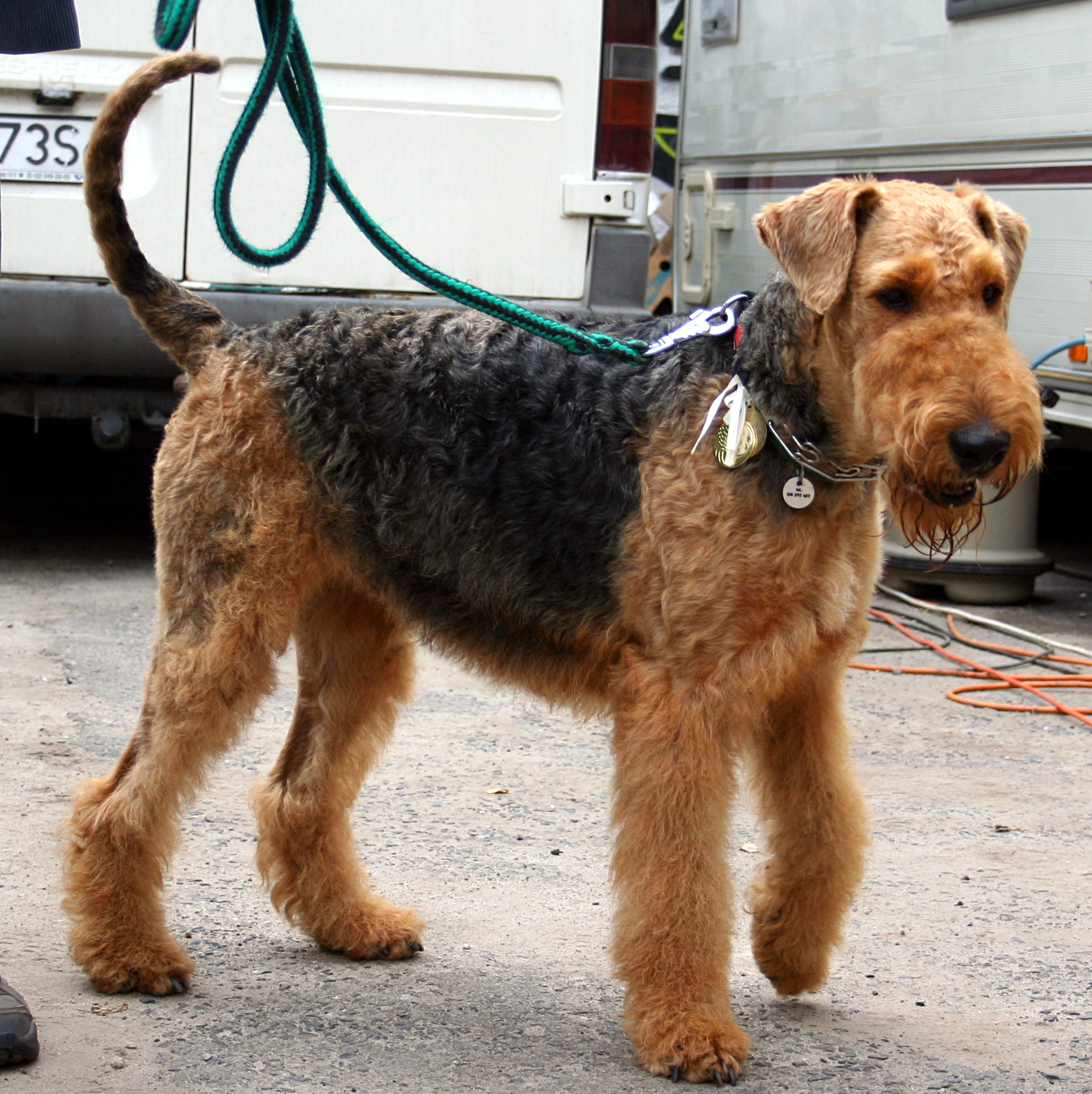 airedale terrier puppies rescue pictures information