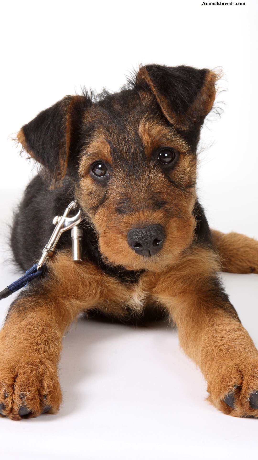 Airedale Terrier - Puppies, Rescue, Pictures, Information ...