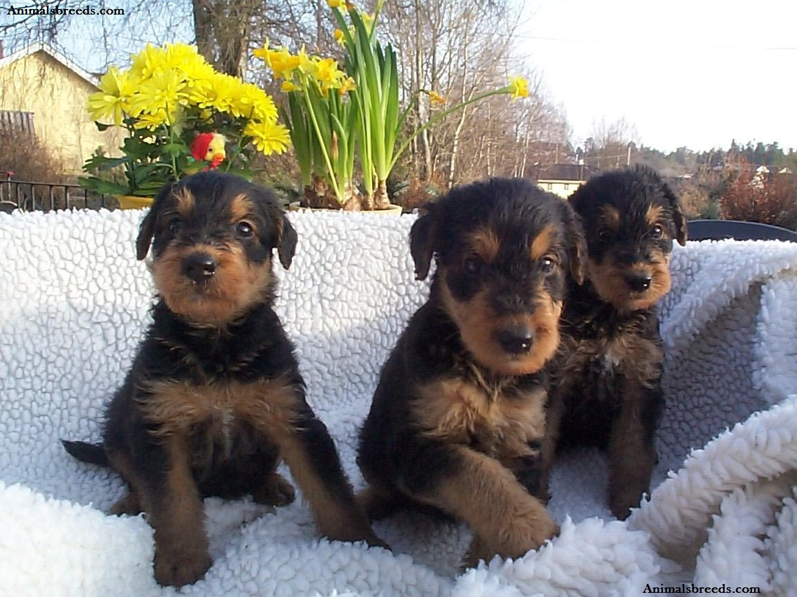 airedale terrier breeders airedale terrier puppies rescue pictures information 4595