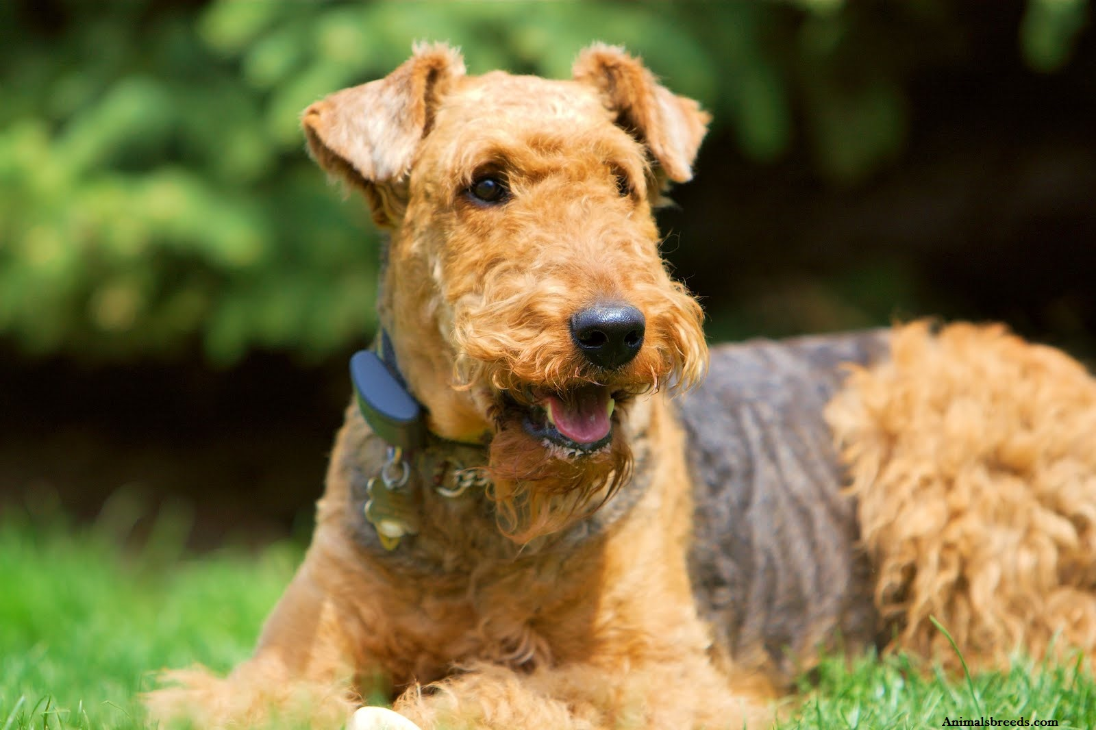 Airedale Dog Breed