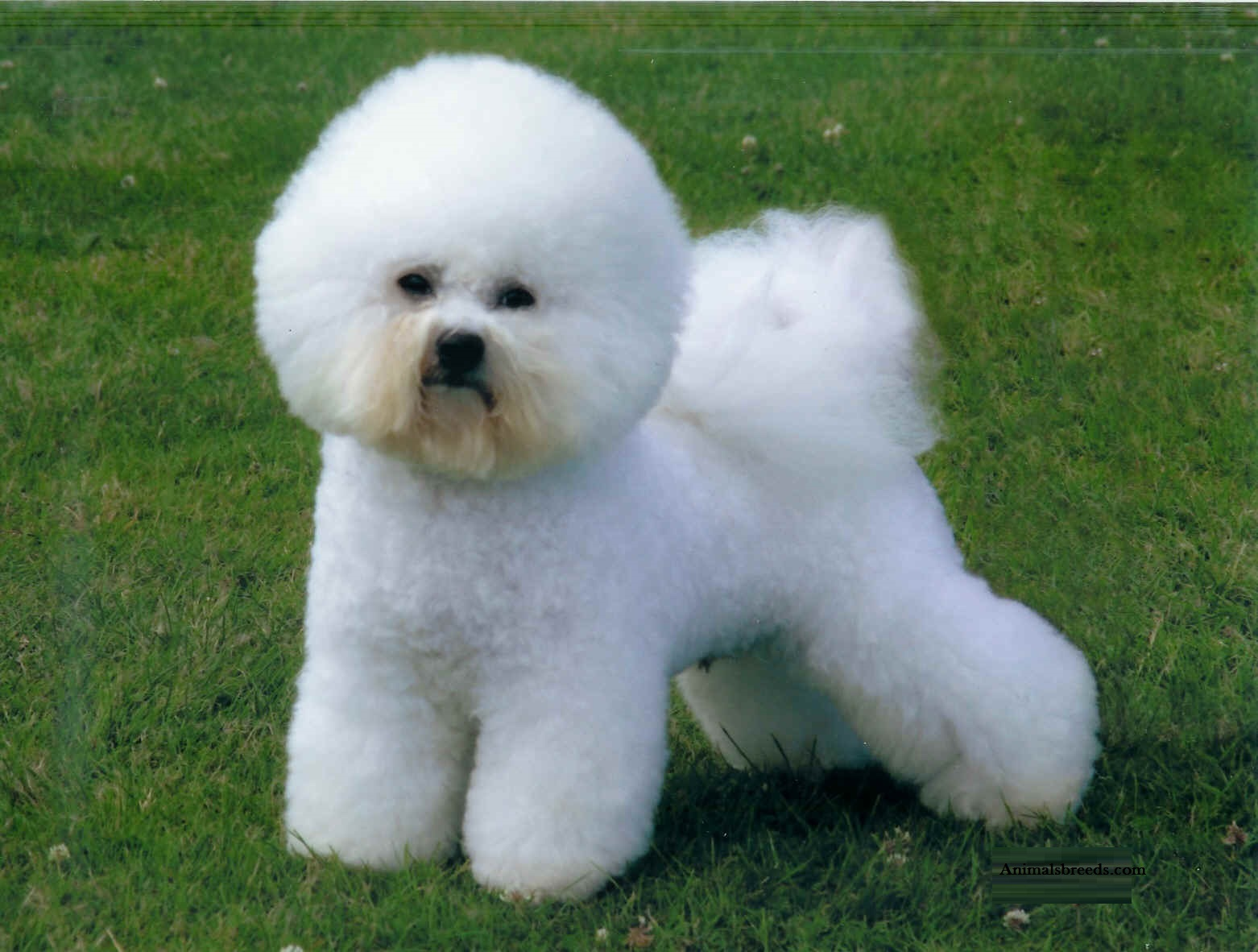 Best Food For Puppies >> Bichon Frise - Puppies, Rescue, Pictures, Information, Temperament, Characteristics | Animals Breeds