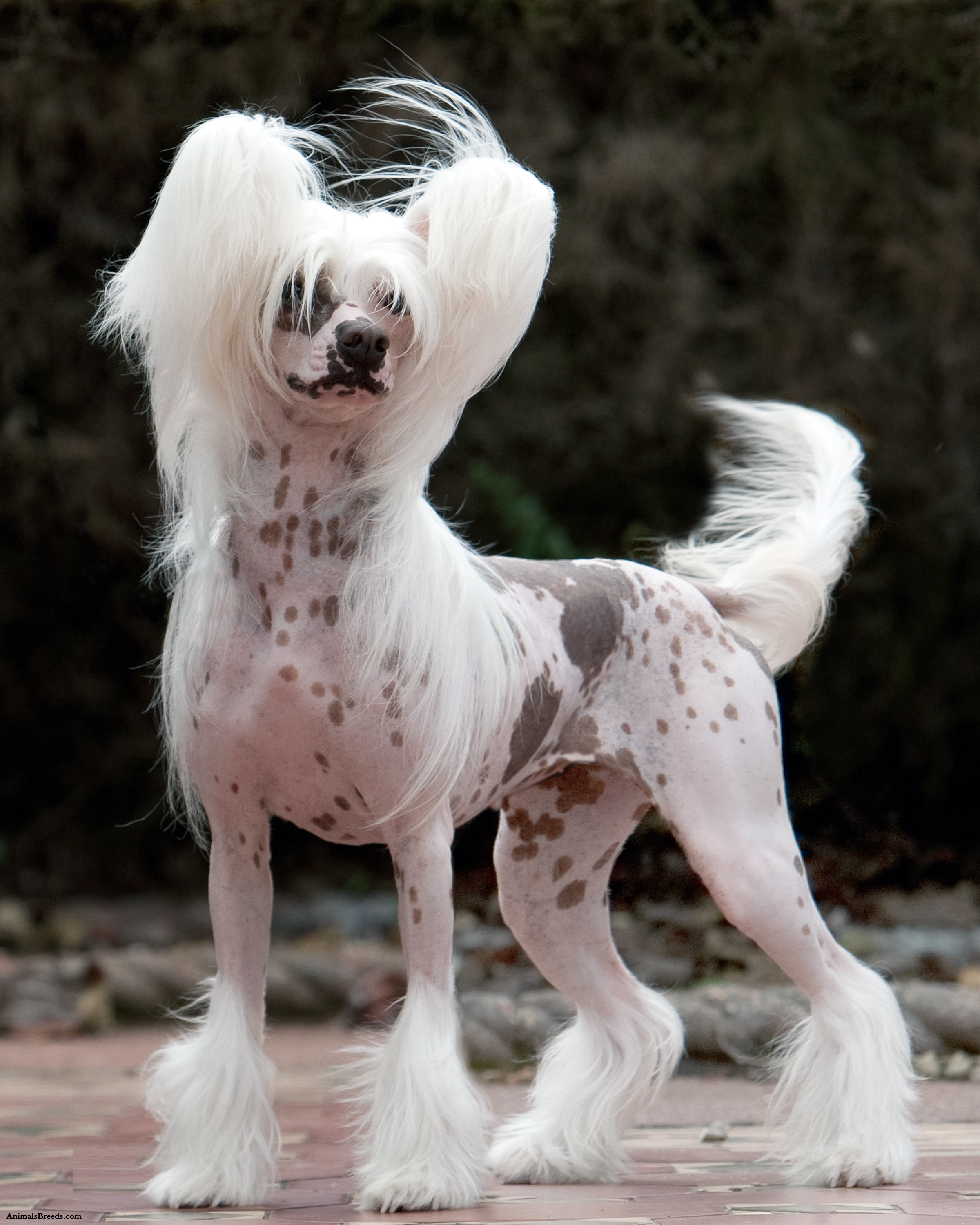 Dog Chinese Crested For Sale