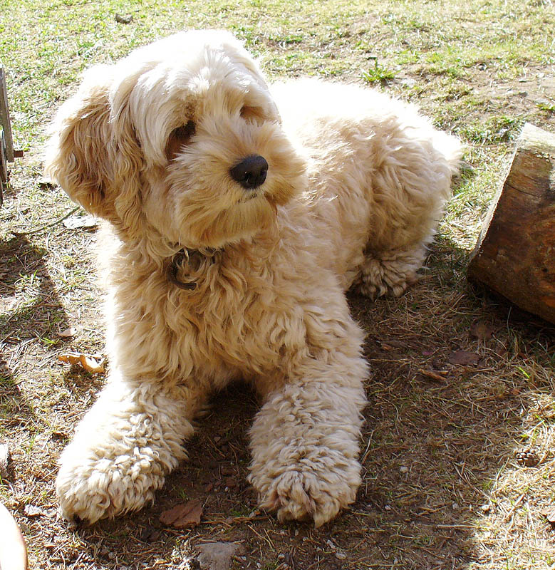 Cockapoo - Puppies, Rescue, Pictures, Information