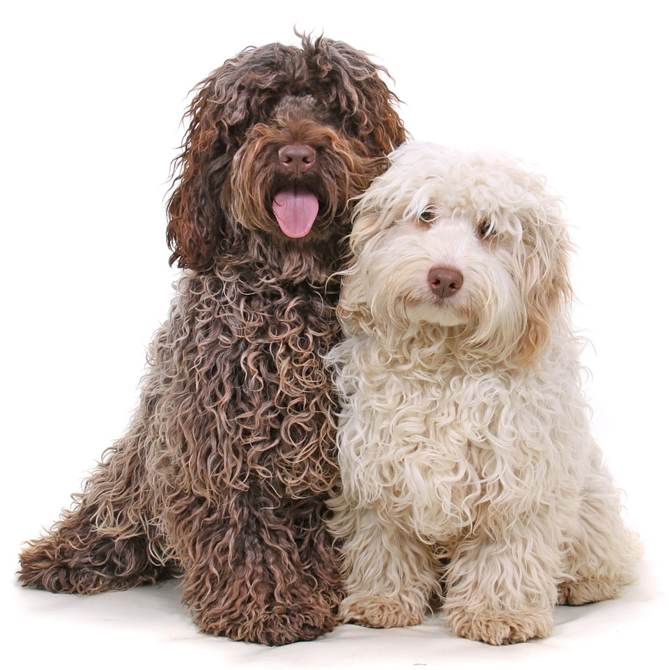Cockapoo Rescue Dogs For Sale