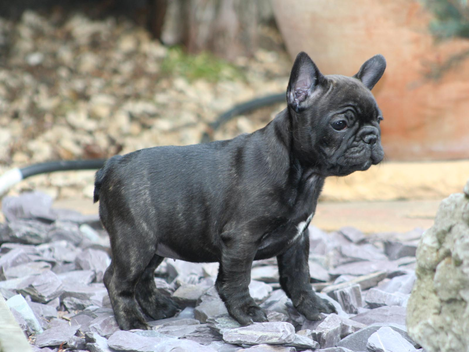 Small Breed Dog Food For Frenchie Puppies