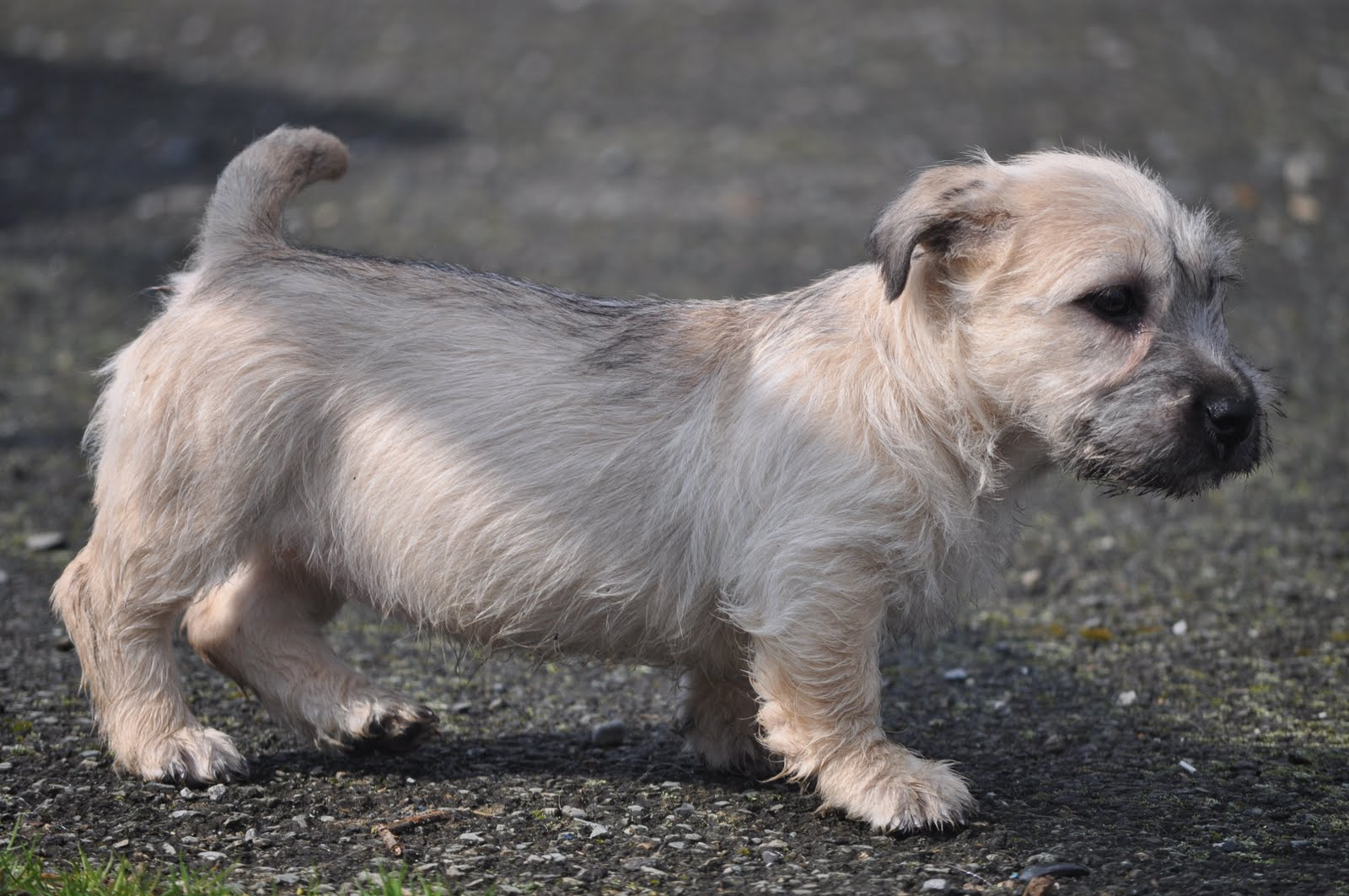 Glen of imaal terrier puppies rescue pictures information glen of imaal terrier altavistaventures Image collections