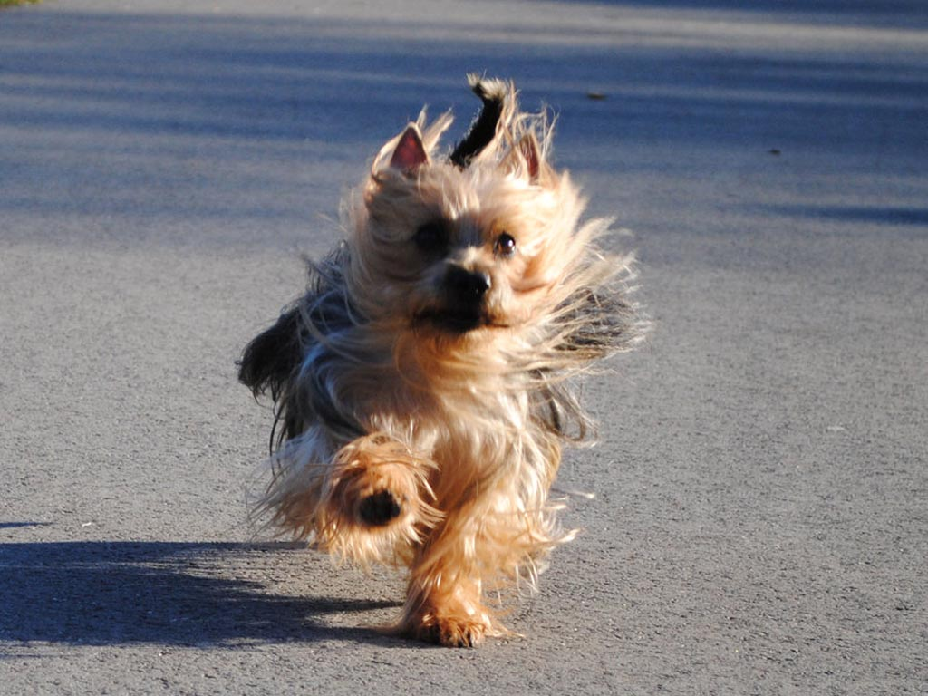 silky terrier temperament silky terrier puppies rescue pictures information 6100