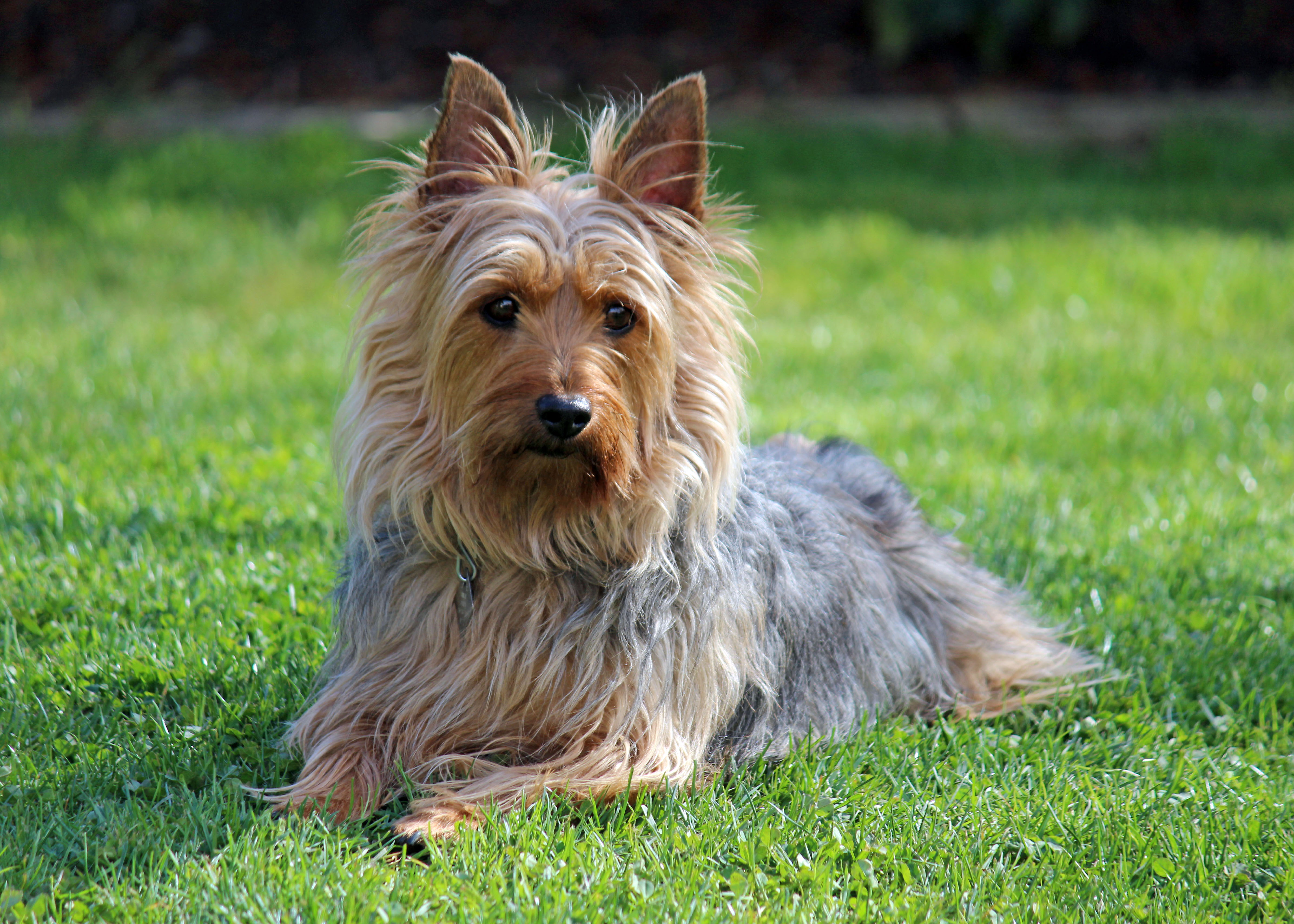 silk terrier silky terrier puppies rescue pictures information 2927