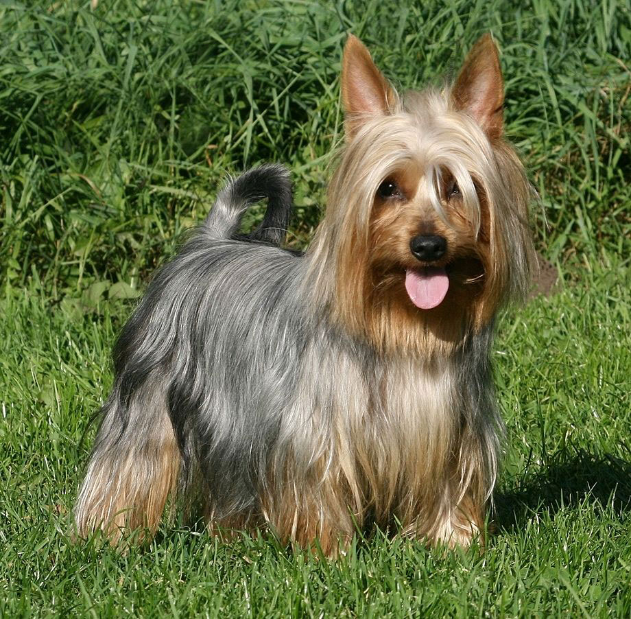 silky terrier temperament silky terrier puppies rescue pictures information 9237