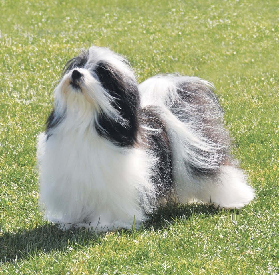 Dog Breeds Havanese Rescue