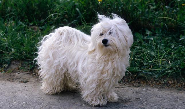 Dog Breeds Havanese Rescue