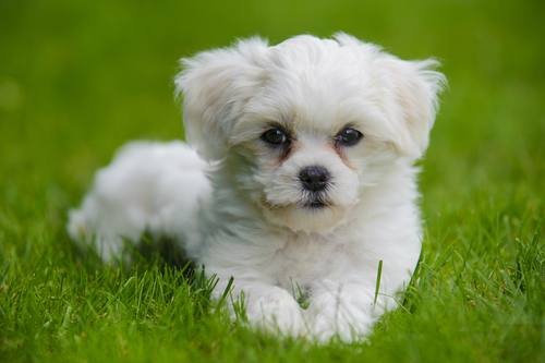 Havanese Puppies Rescue Pictures Information