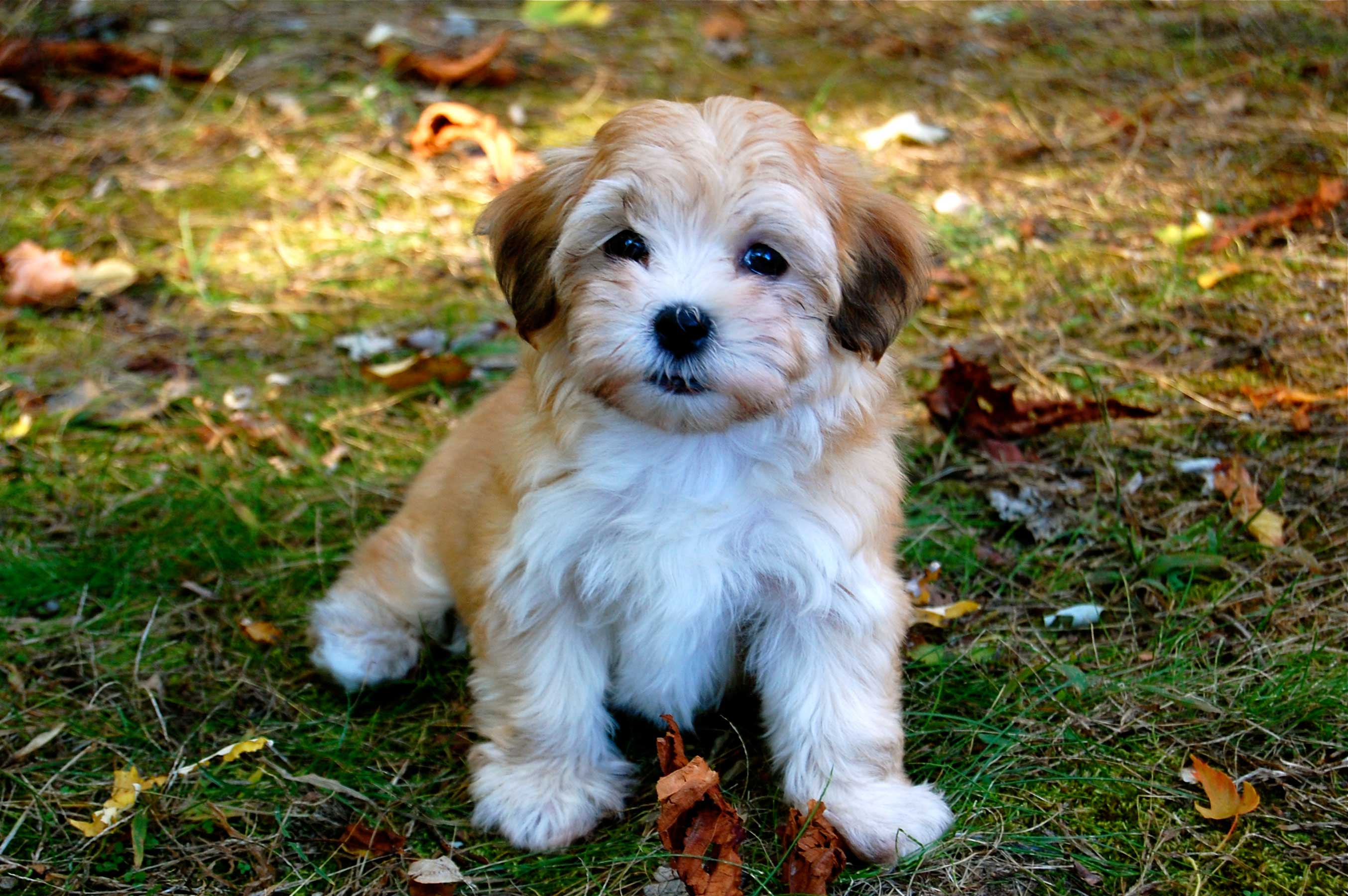 Havanese - Puppies, Rescue, Pictures, Information
