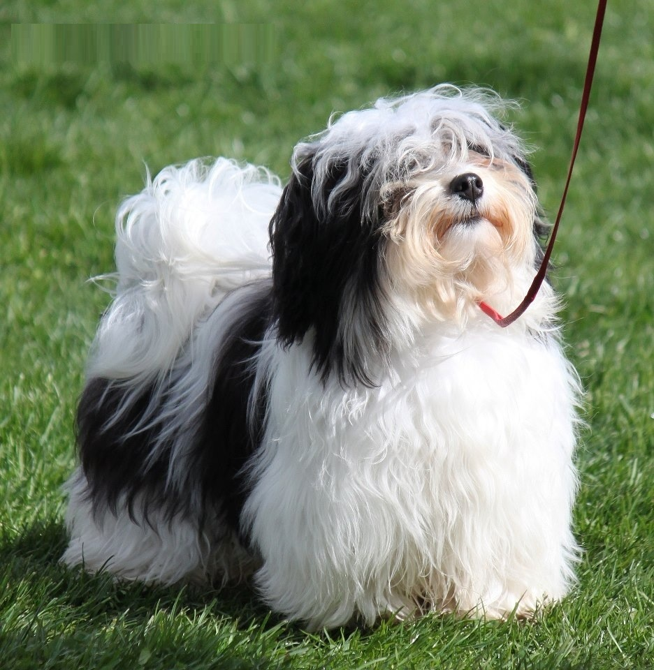 Small Dog Havanese
