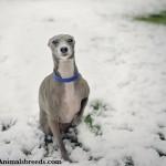 Italian Greyhound