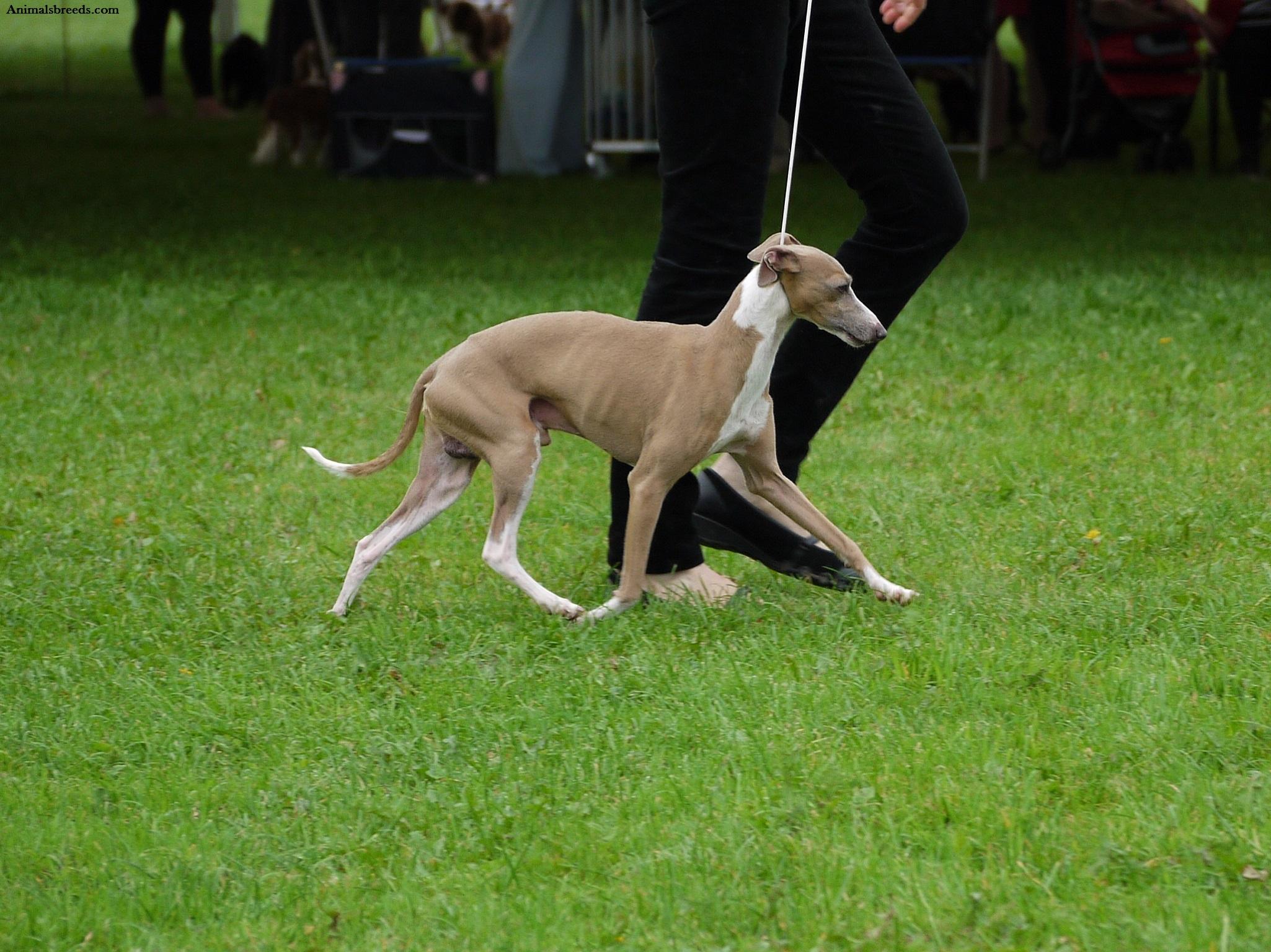 Dog Rescue Italian Greyhound