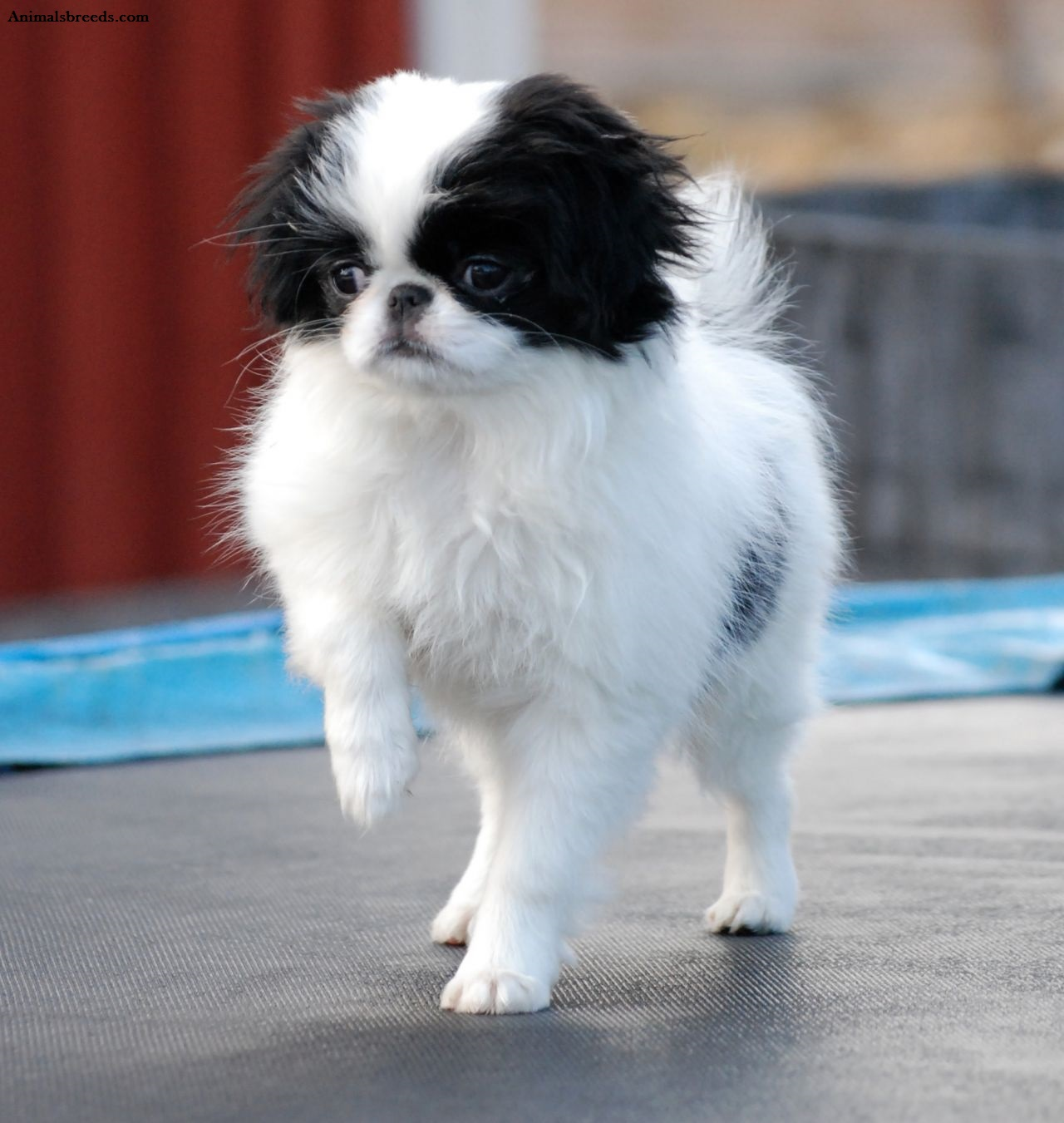 Japanese Chin Puppies Rescue Pictures Information