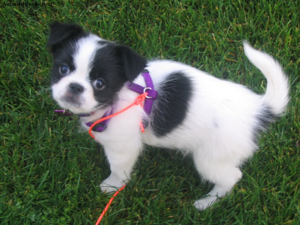 Japanese Chin Dog Rescue